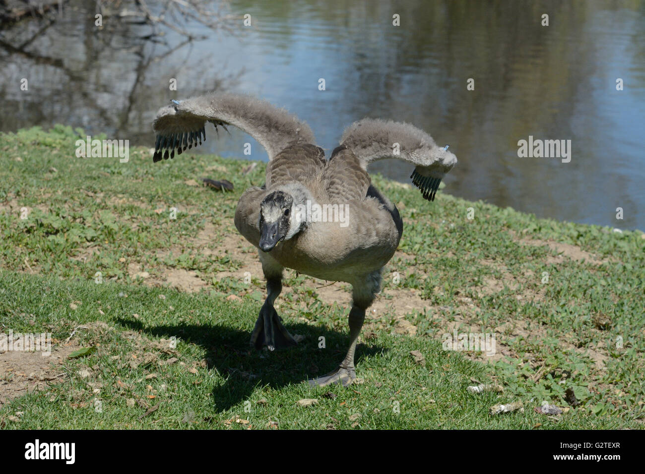 Angry adolescent Canada Goose charging threat of another goose from different family entering its space - Stock Image