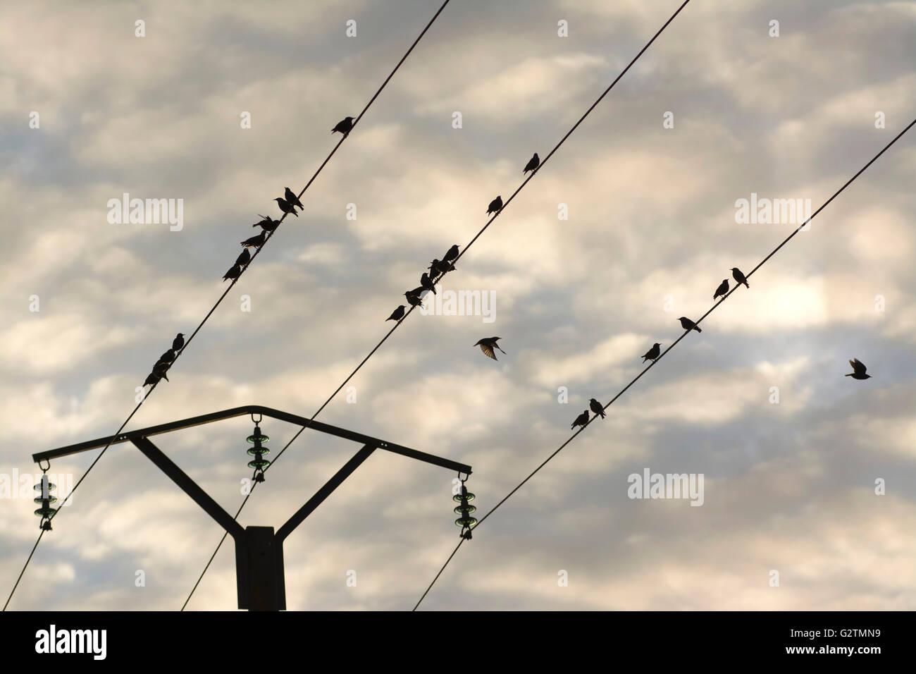Birds on a telephone pole wire, Puy de Dome, Auvergne, France Stock ...