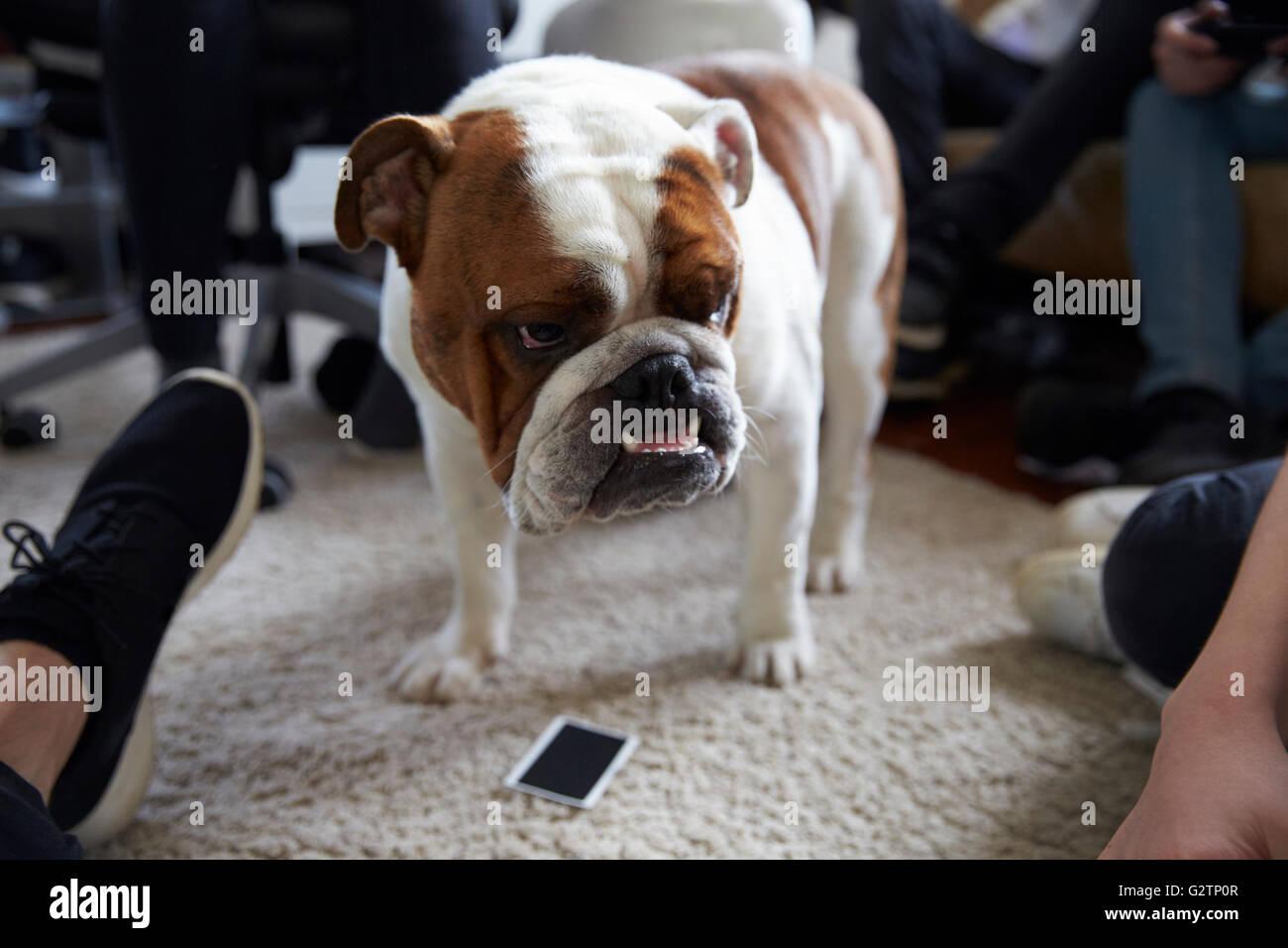 Portrait Of English Bulldog Standing On Rug - Stock Image