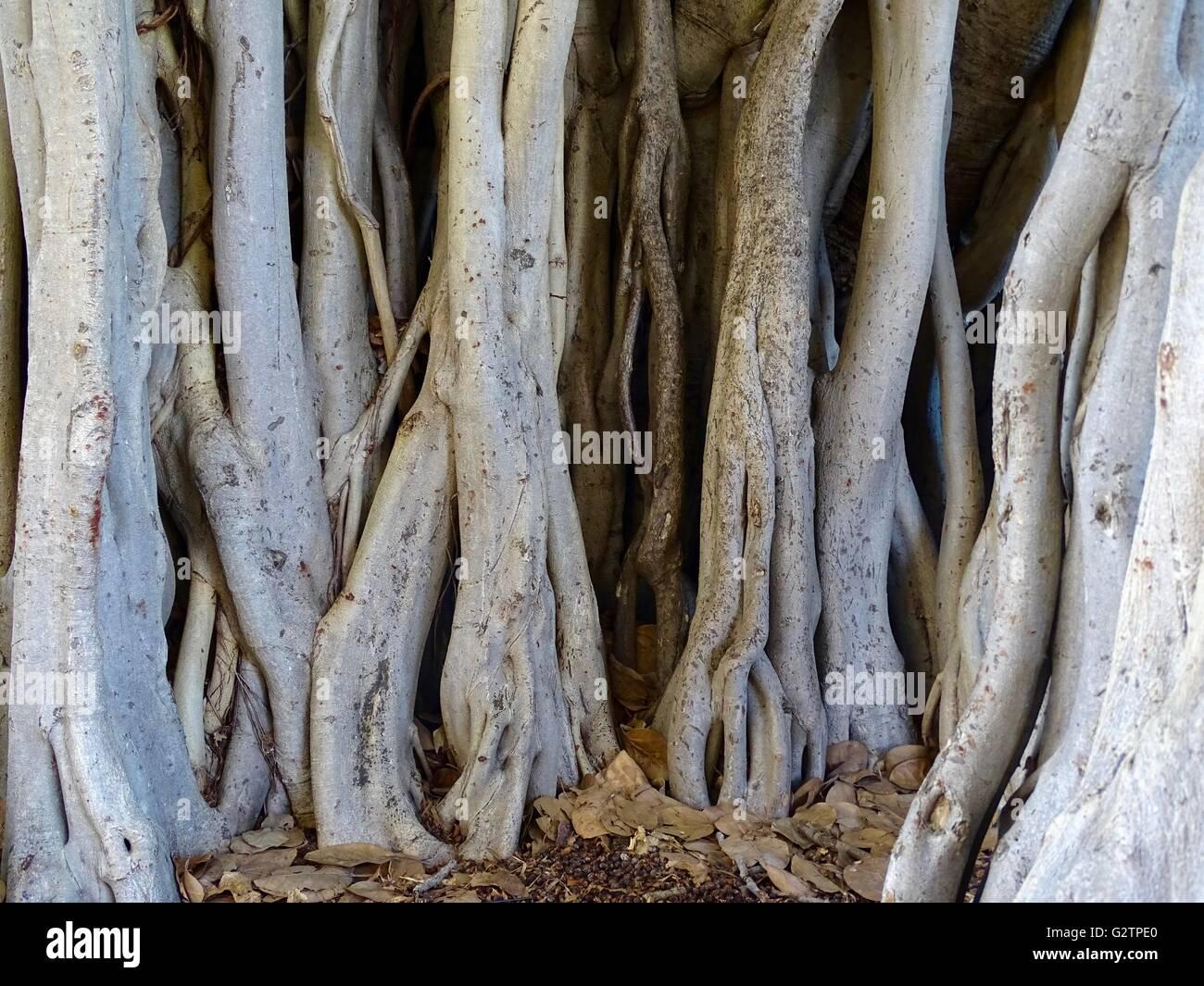 Banyan Tree Trunks - Stock Image