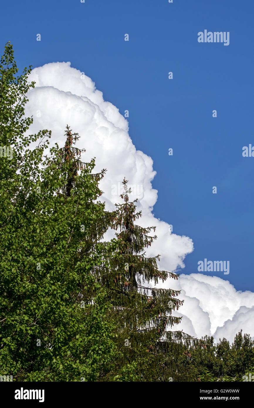 Cumulus congestus cloud developing behind forest - Stock Image