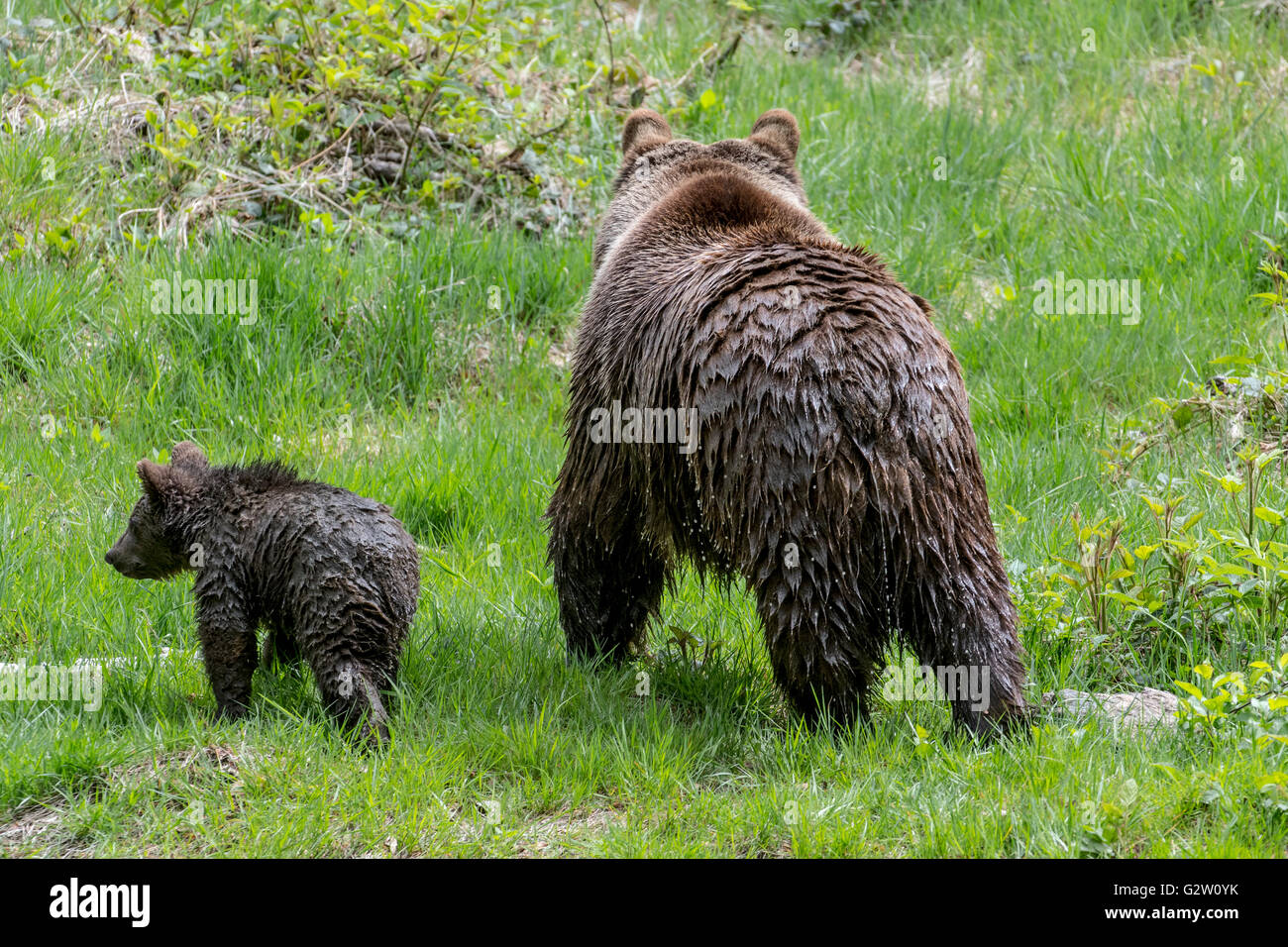 Female brown bear (Ursus arctos) and cub with dripping wet fur walking away in grassland - Stock Image