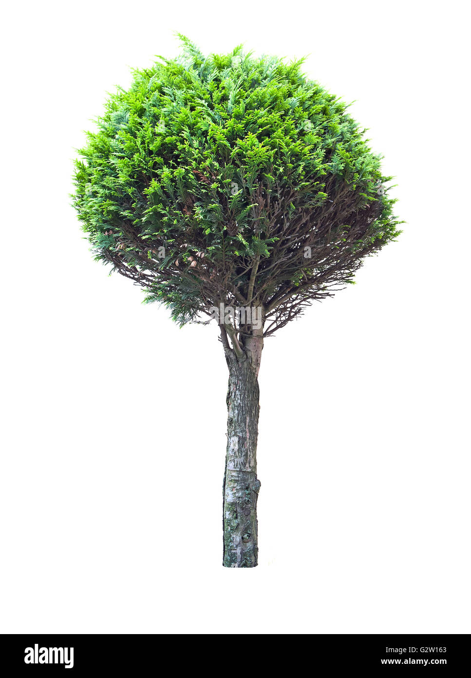 tree thuja isolated on white Stock Photo