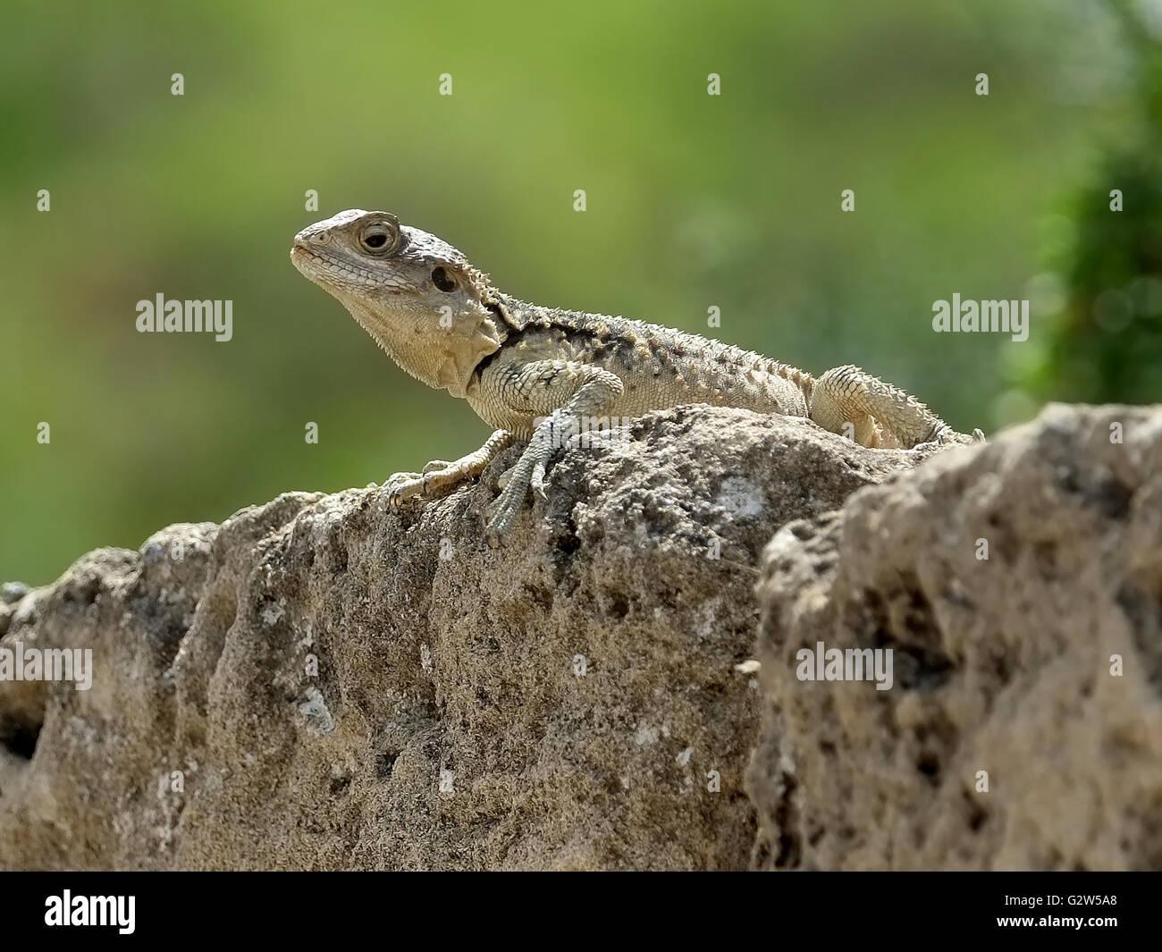 Gecko Lizard (infraorder Gekkota) on a rock,  Salamis, Famagusta, (Gazimagusa),  Northern Cyprus. Stock Photo