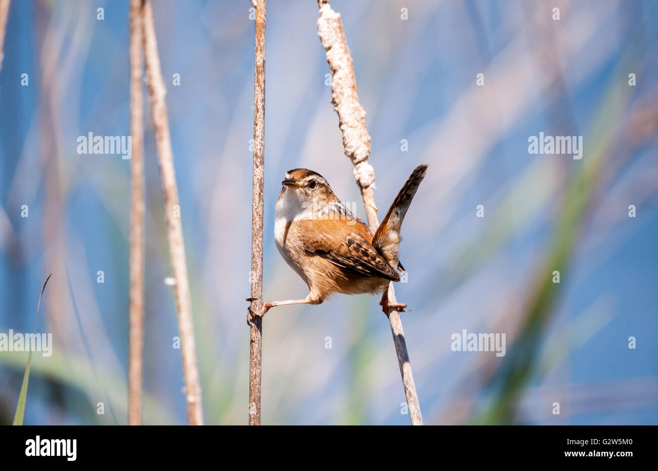 Marsh Wren holding onto the reeds with both feet and looking straight at the camera. - Stock Image