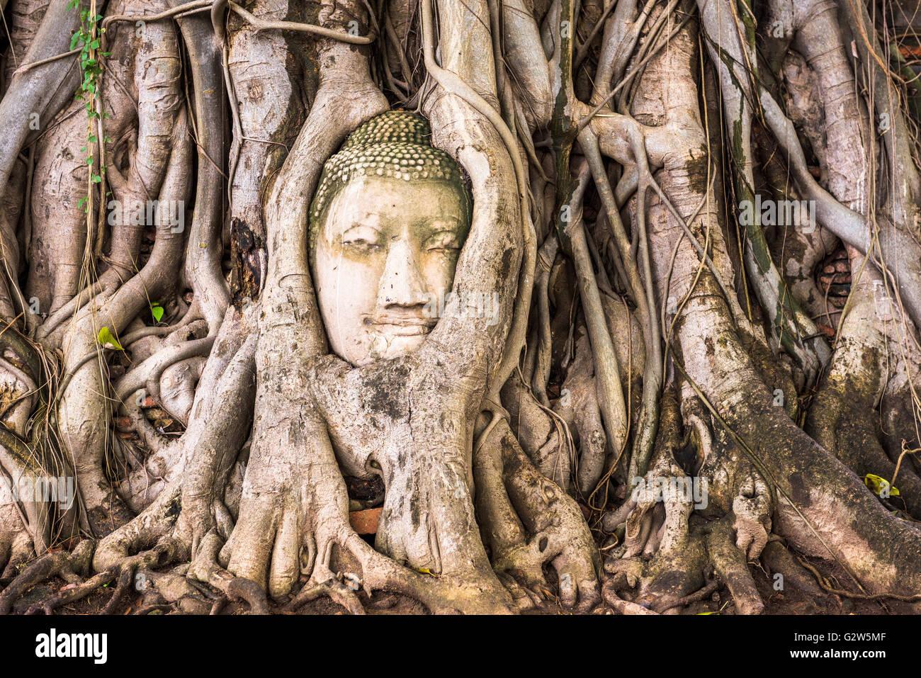 Buddha head in banyan tree roots at Wat Mahathat in Ayutthaya, Thailand. - Stock Image