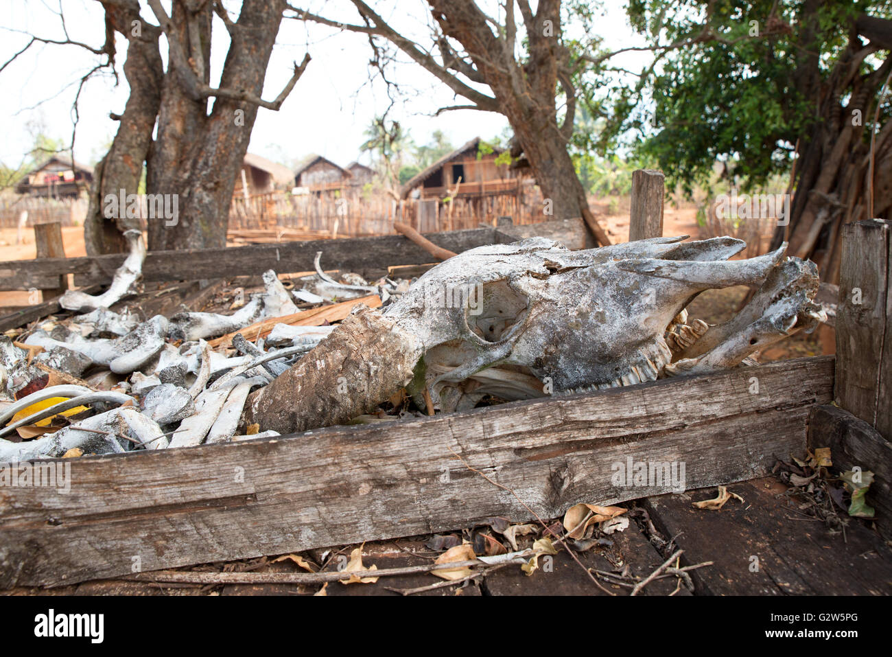 Remains of a dead water buffalo used for animist rituals of Kayah people, Dawtamakyi village, Kayah State, Myanmar - Stock Image