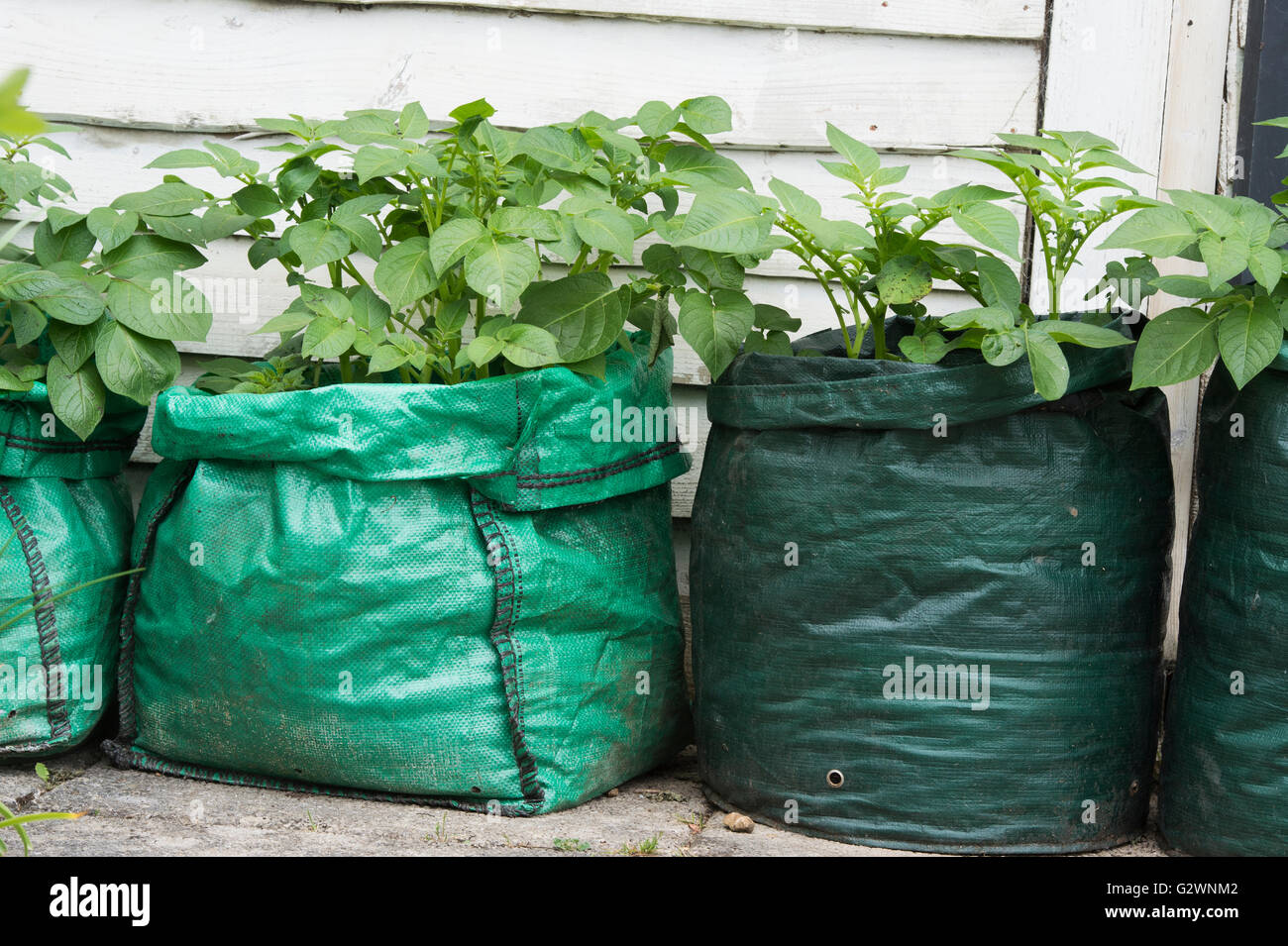 Solanum tuberosum. Growing Potatoes in sacks. UK - Stock Image
