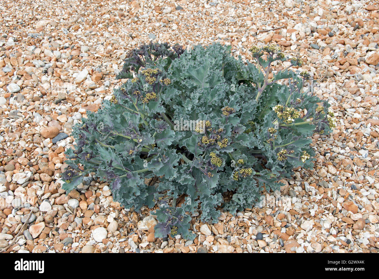Sea Kale, Crambe maritima Stock Photo