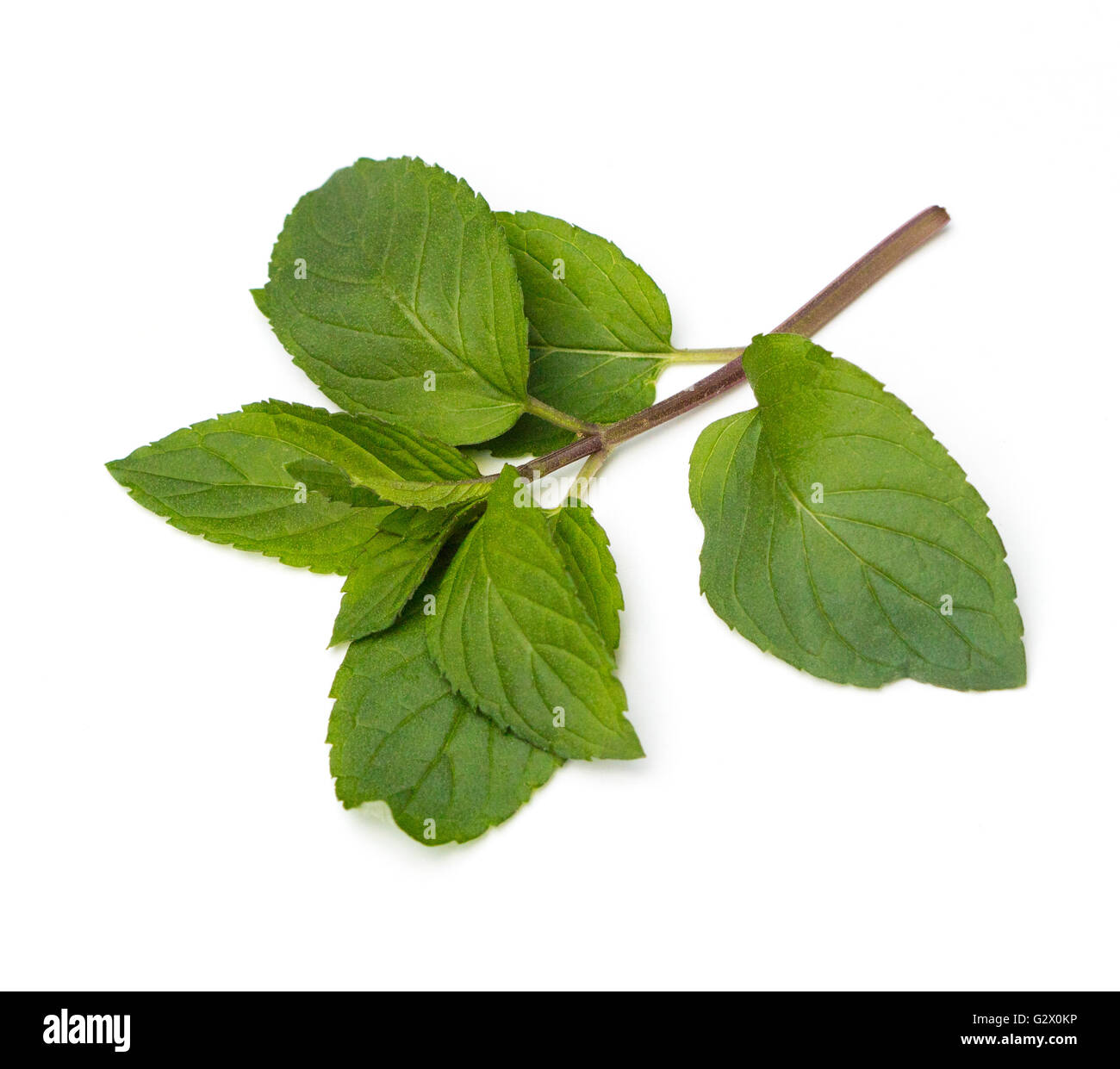 Fresh Chocolate Mint (Mentha piperita) leaves on a white background - Stock Image