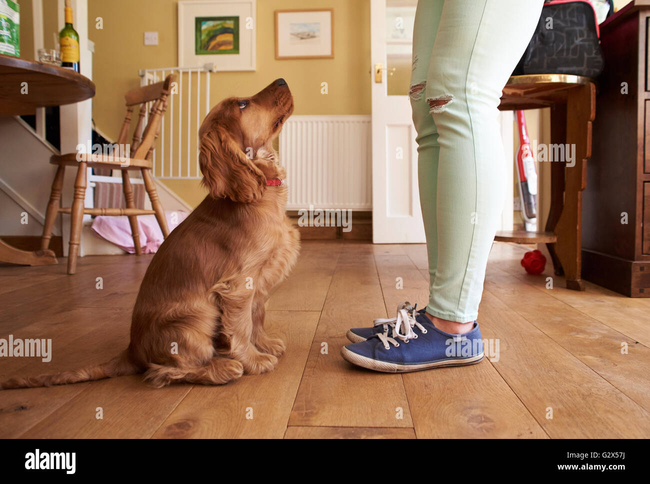 Cocker Spaniel Puppy Owner Training Dog To Sit - Stock Image