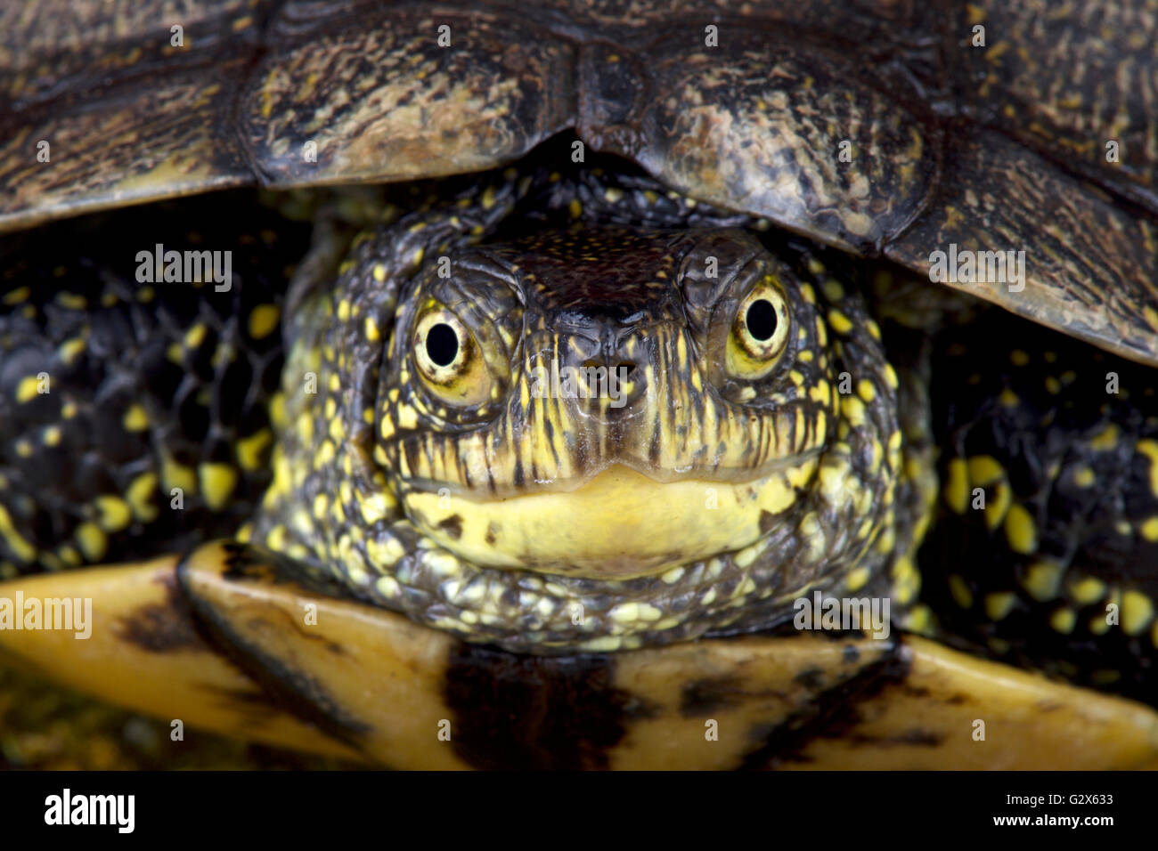 European pond turtle (Emys orbicularis) - Stock Image