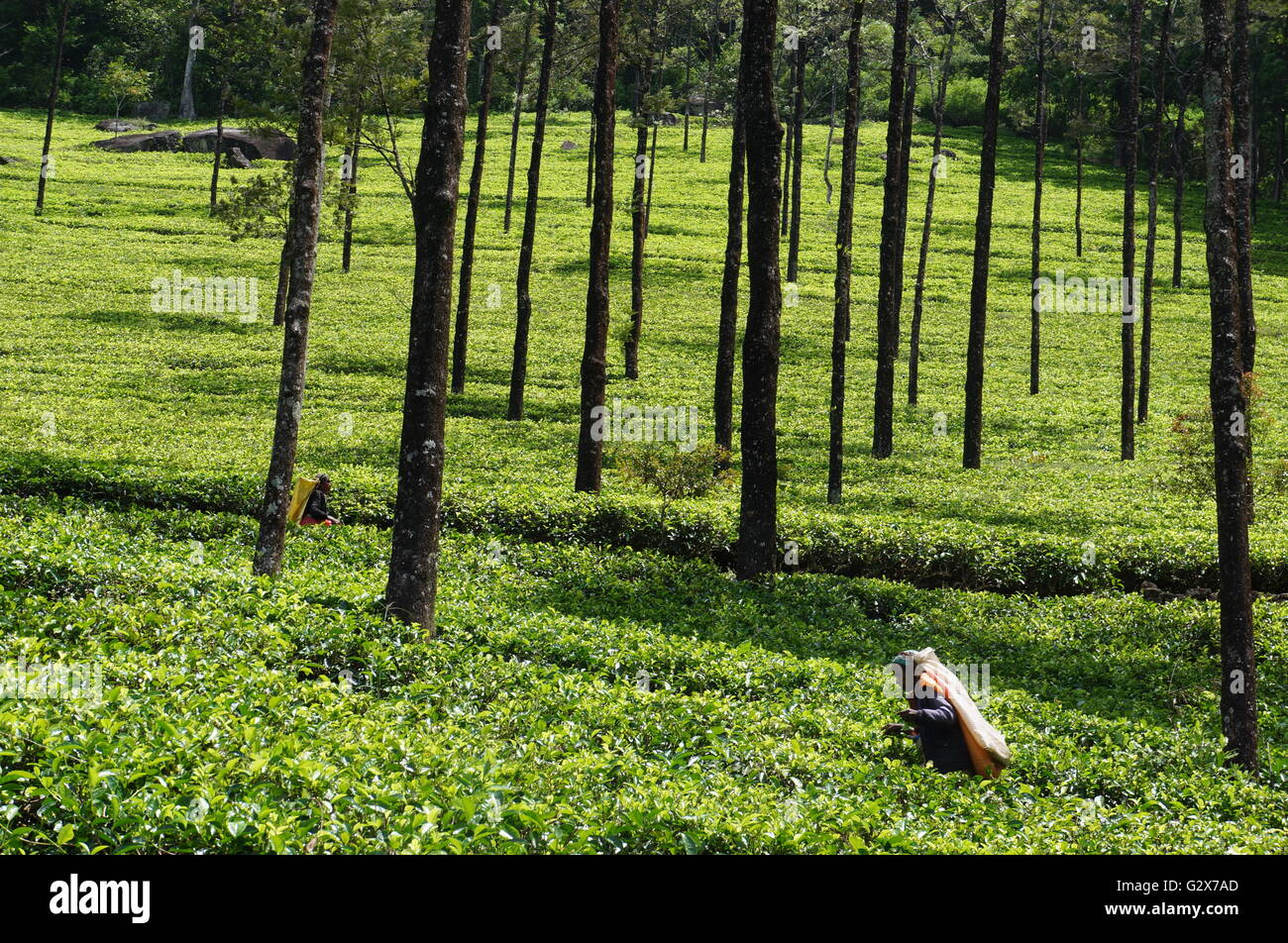 A woman picks leaves in a tea plantation in central Sri Lanka. - Stock Image