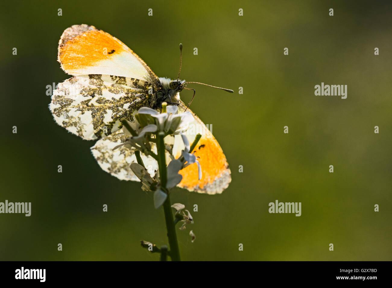 Male Orange Tip butterfly (Anthocharis cardamines nectaring on Garlic Mustard (Alliaria petiolata), Cambridgeshire, - Stock Image