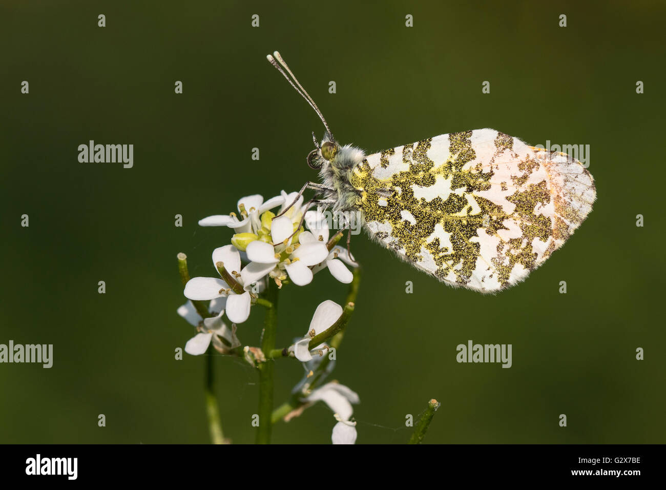 Male Orange Tip butterfly (Anthocharis cardamines) resting on Garlic Mustard (Alliaria petiolata), Cambridgeshire, Stock Photo