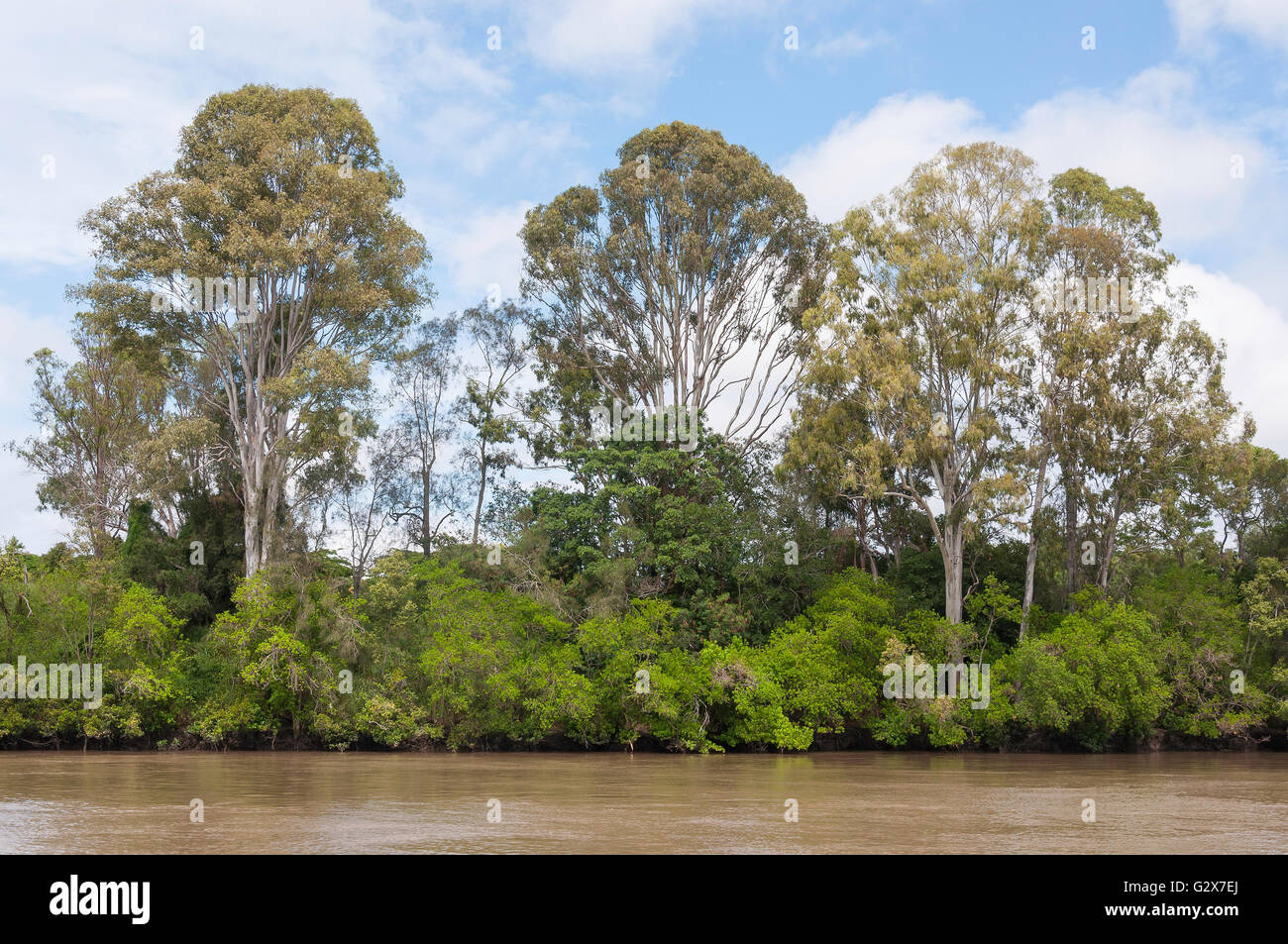Mangrove vegetation on banks of Brisbane River, Fig Tree Pocket, Brisbane, Queensland, Australia - Stock Image