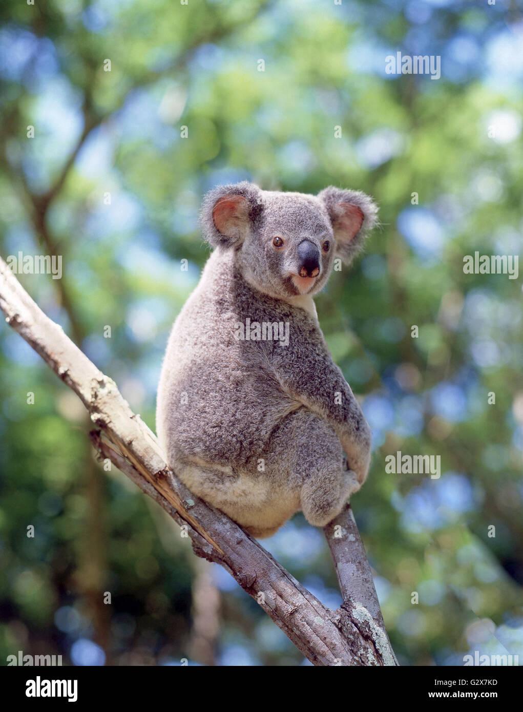 Native koala in the wild, Queensland, Australia - Stock Image