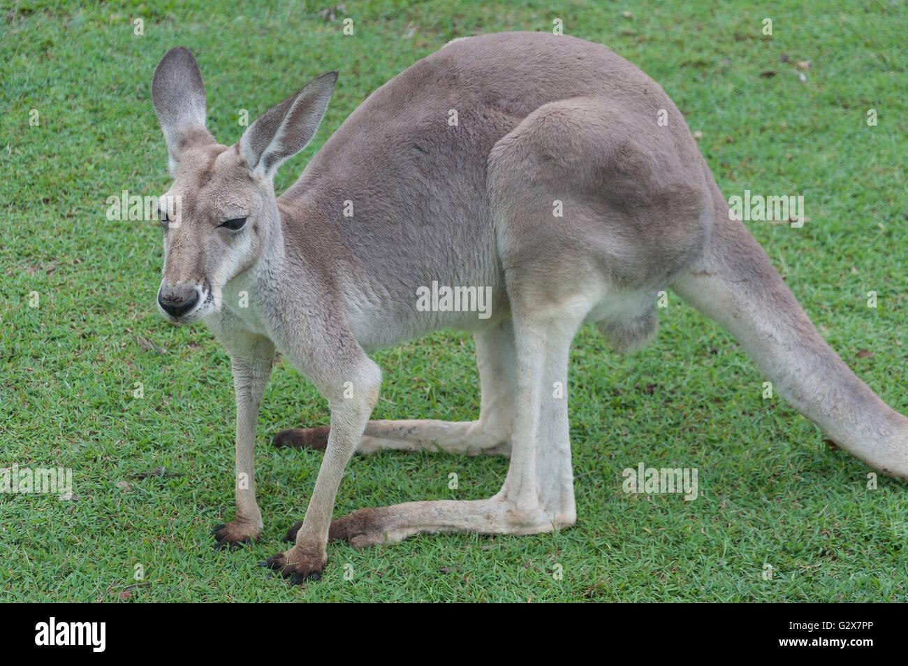 Western Grey Kangaroo at Lone Pine Koala Sanctuary, Fig Tree Pocket, Brisbane, Queensland, Australia - Stock Image