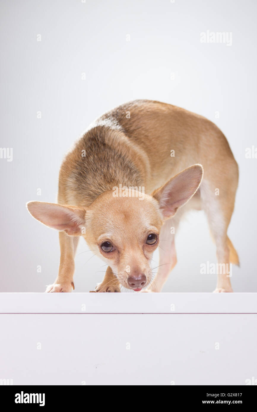 Insecure Chihuahua dog smelling, white background. - Stock Image