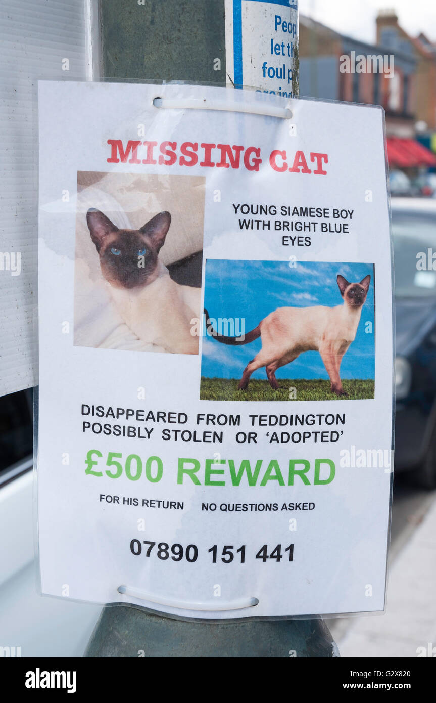 Missing cat notice on lamp post, High Street, Hampton Hill, Borough of Richmond upon Thames, Greater London, England, - Stock Image