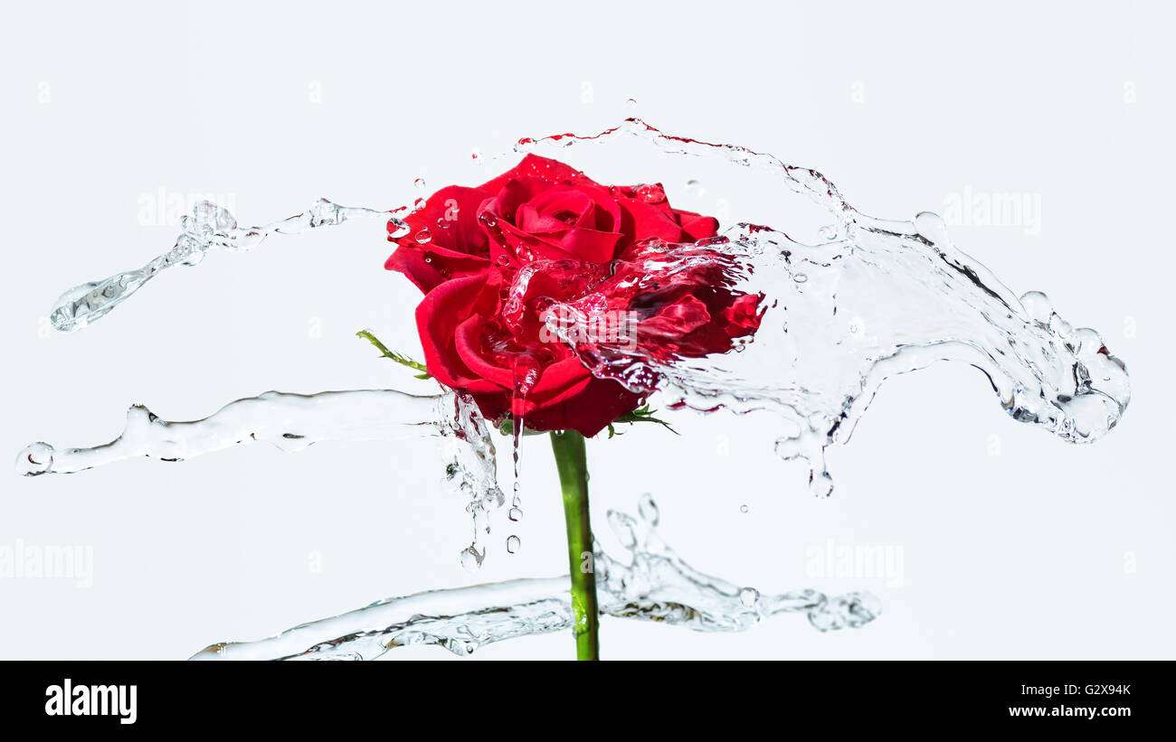 One red rose with water splash and drops on a white background. Selected focus, narrow depth of field - Stock Image