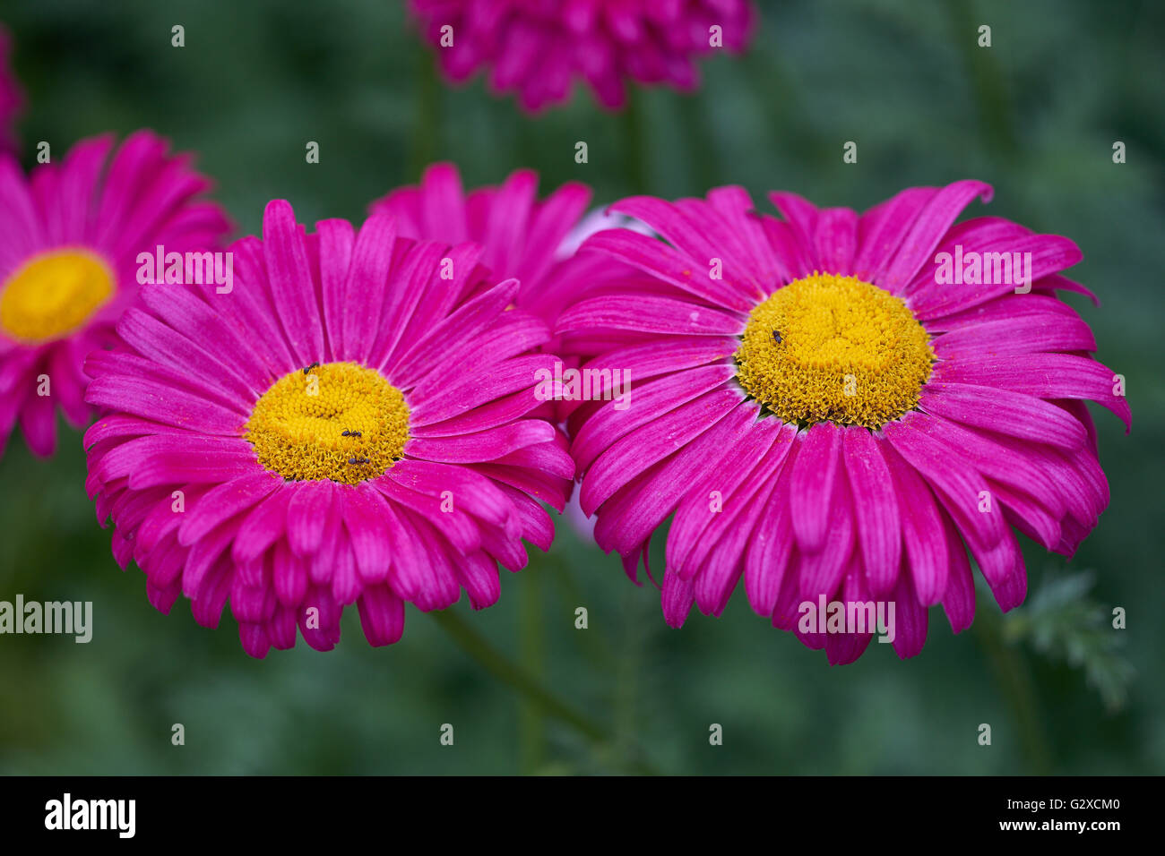 Two purple shapely pyrethrum flowers close up Tanacetum coccineum - Stock Image
