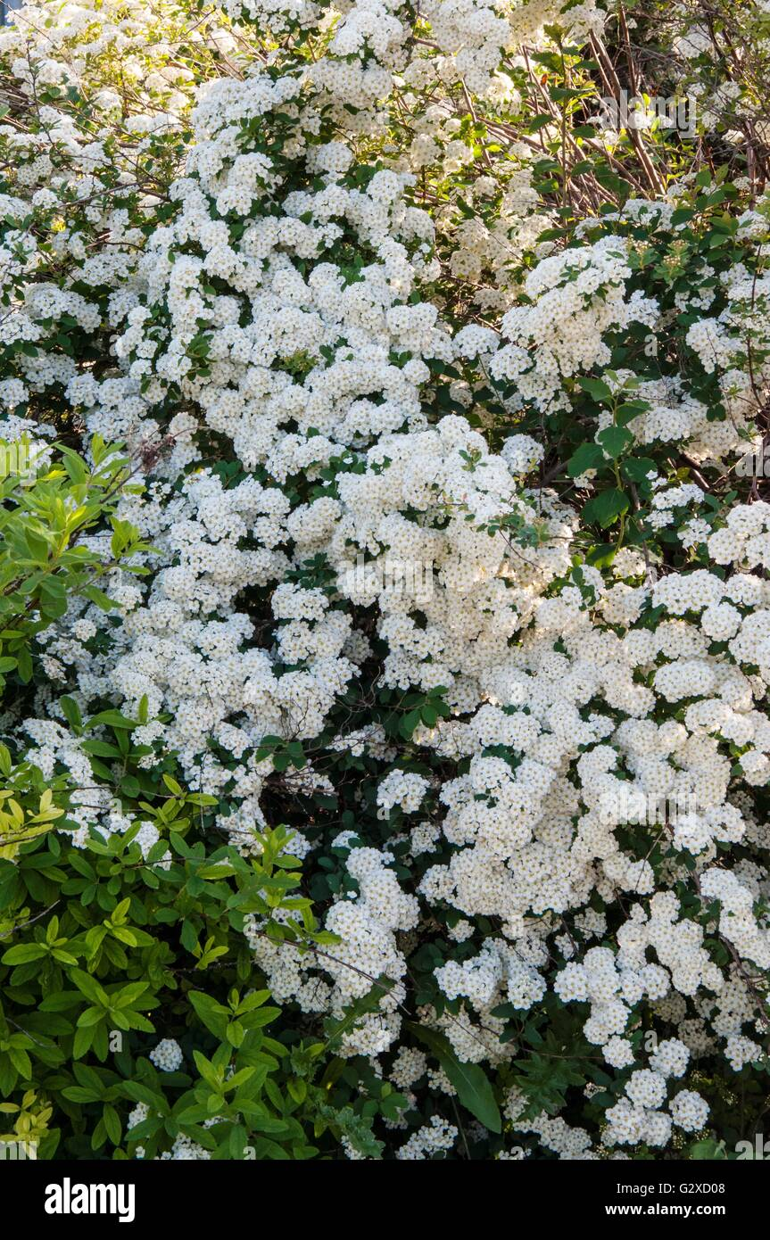 Small White Flowers Of Spiraea In Spring Morning Stock Photo