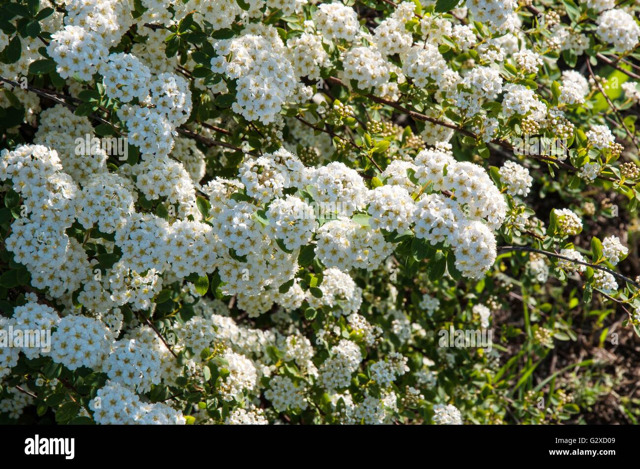 Small white flowers of spiraea in spring morning stock photo small white flowers of spiraea in spring morning mightylinksfo