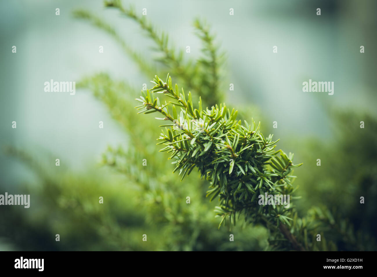 Taxus (Yew tree) in the garden. Selective focus. Shallow depth of field. Toned image. - Stock Image