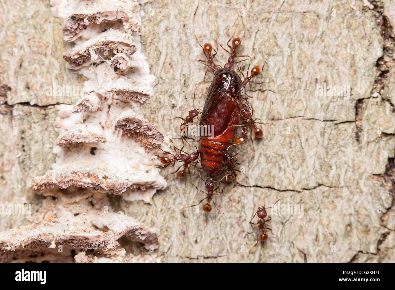 Spine-waisted Ant (Aphaenogaster tennesseensis) workers carry scavenged food, a moth pupa, to their nest in dead - Stock Image