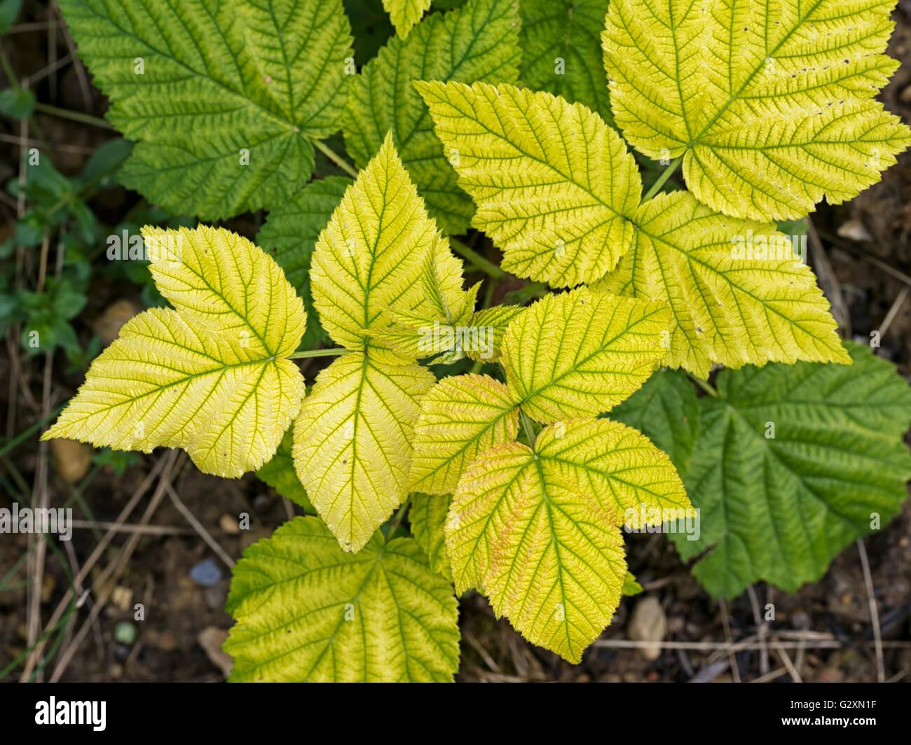 Nutrient Deficiency Stock Photos & Nutrient Deficiency ...