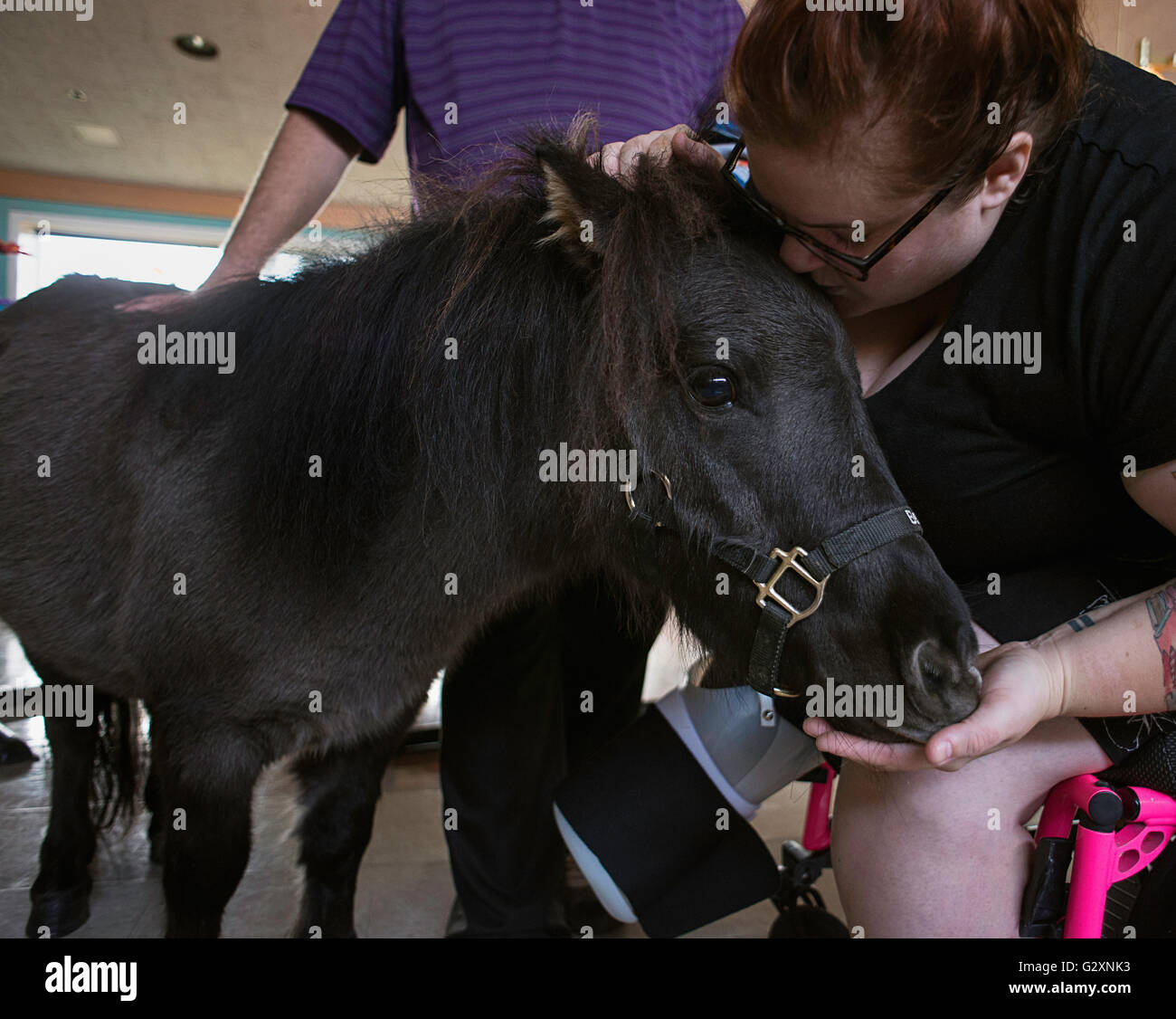 A miniature horse, working as a therapy animal visiting a recently injured patient at a rehab facility. - Stock Image