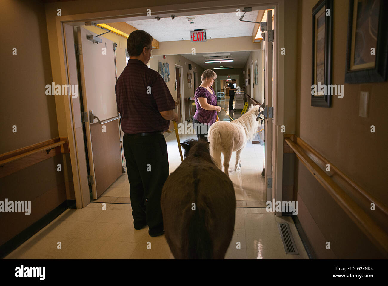 Therapy horses visiting a rehab facility in Oregon. - Stock Image
