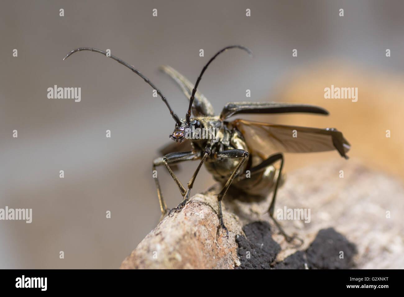 Stenocorus meridianus longhorn beetle taking flight. Insect in family Cerambycidae the longhorns or longicorn beetles Stock Photo