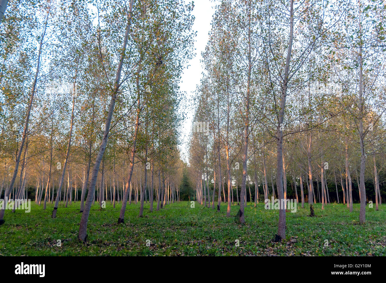 Soft evening light in a small plantation of plane trees in southwestern France. - Stock Image