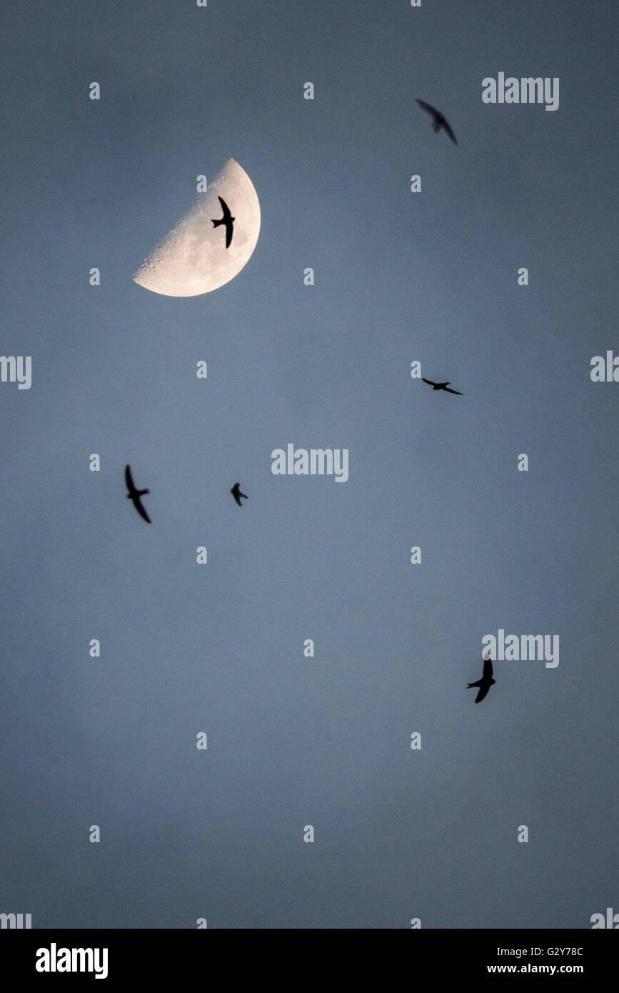 Waxing moon and flying swifts - Stock Image