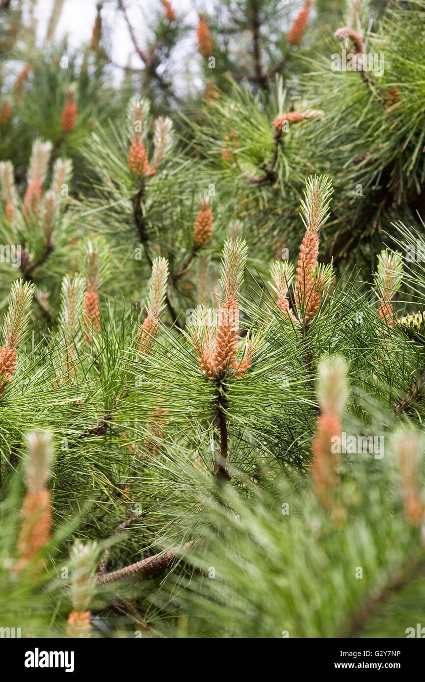 Pinus muricata cones in spring. Bishop's Pine. - Stock Image