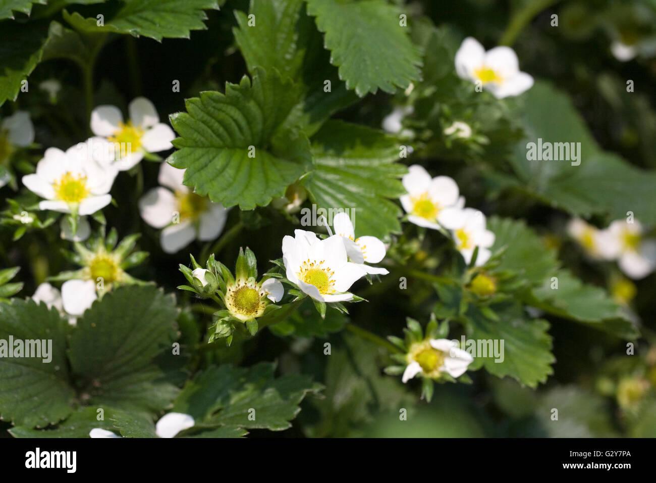 Fragaria × ananassa. Strawberry 'Alice' flowers. Stock Photo