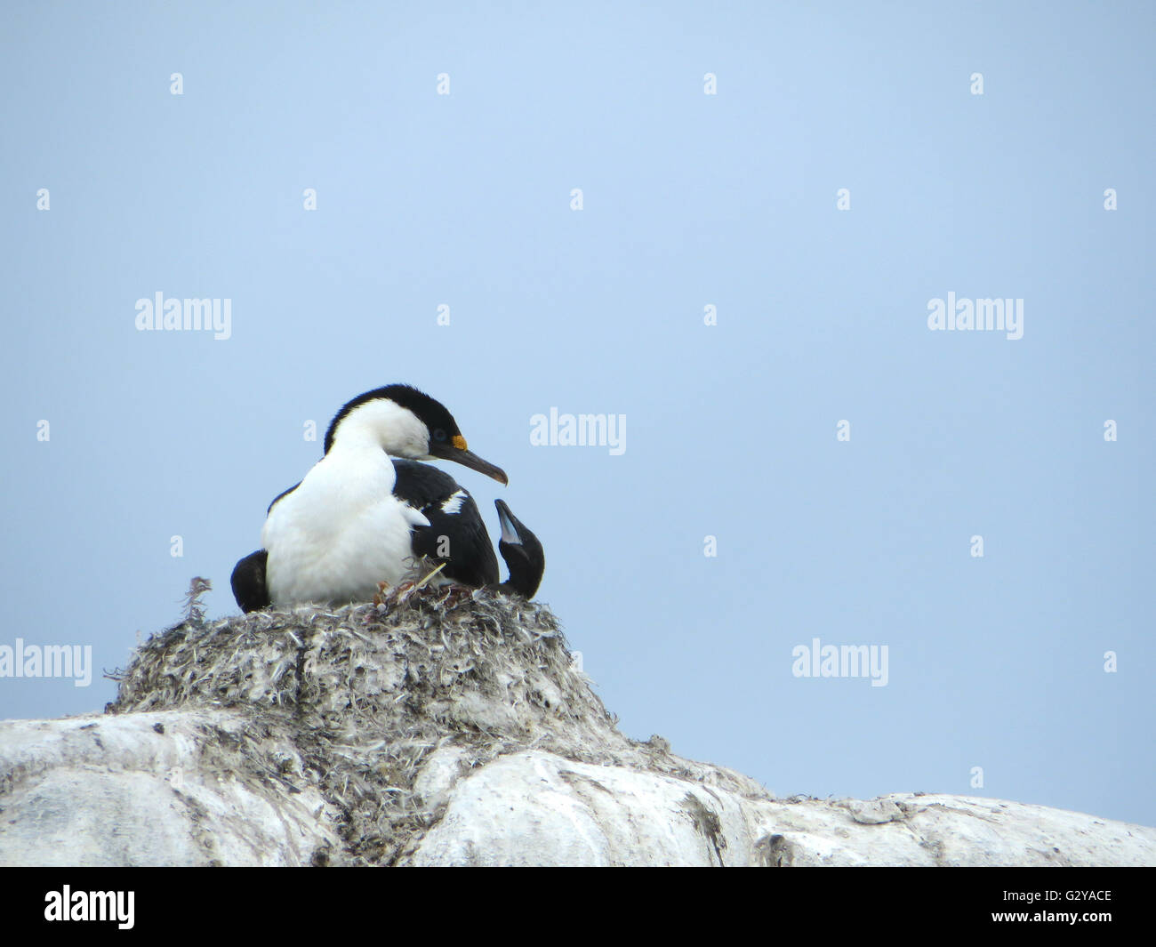 Blue eyed shag in its nest nurturing its chicks in Antarctica - Stock Image