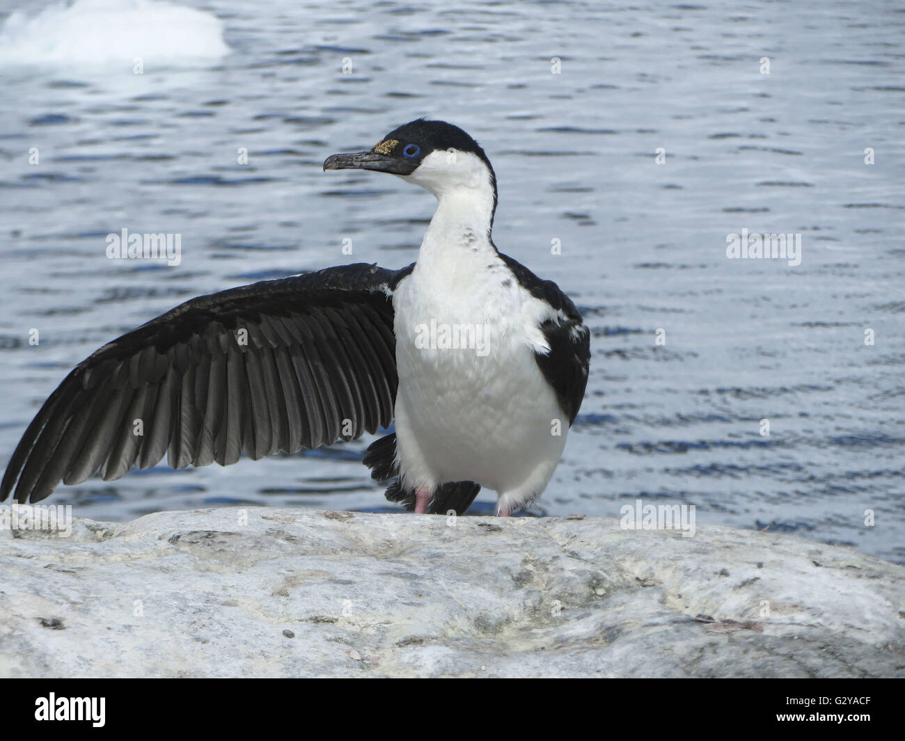 Antarctic Blue Eyed Shag (Phalacrocorax Bransfieldensis) spreading one wing at a 'Voilà' gesture in - Stock Image