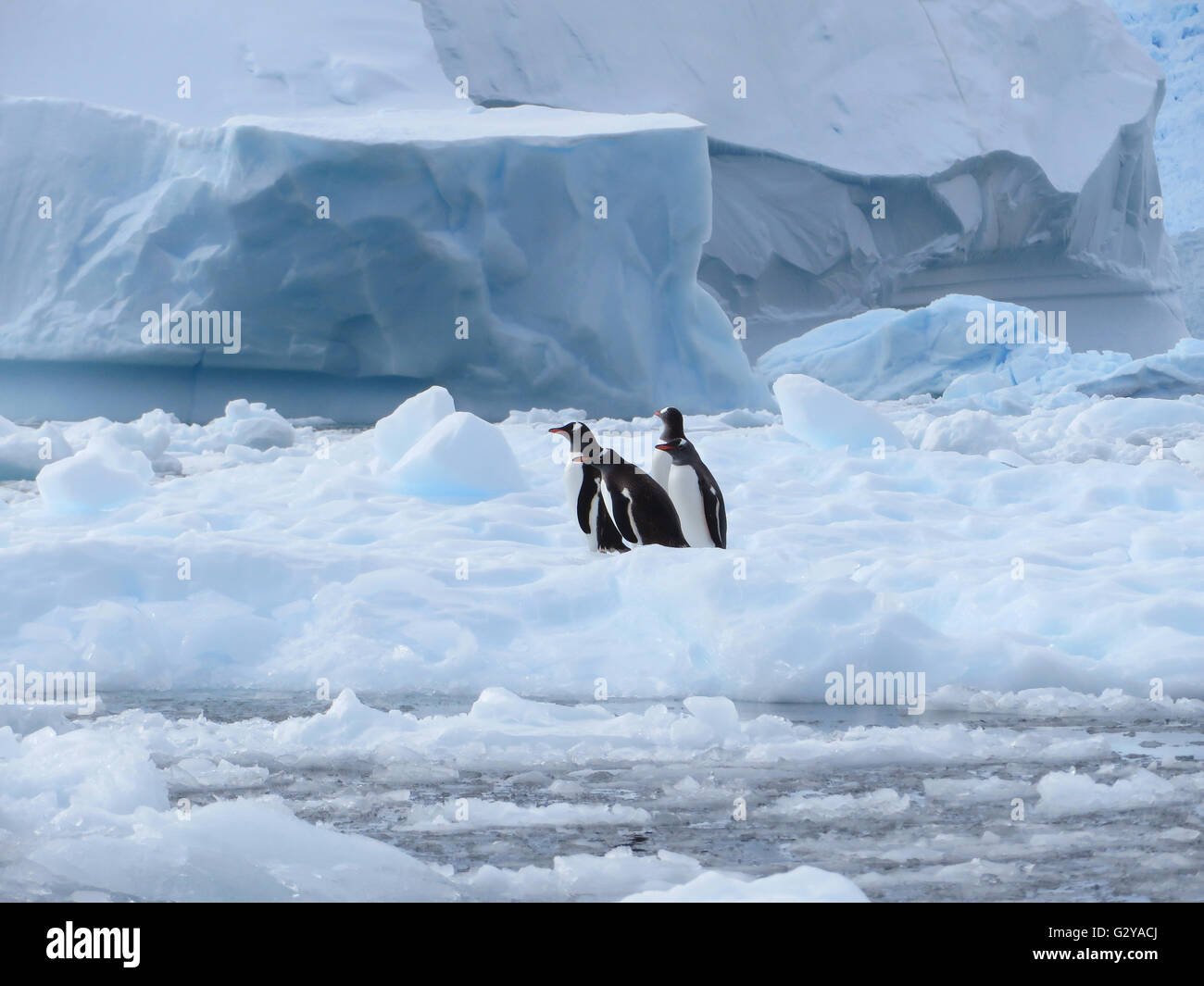 Four cute Gentoo penguins (Pygoscelis Papua) sitting together on sea ice, Antarctica - Stock Image