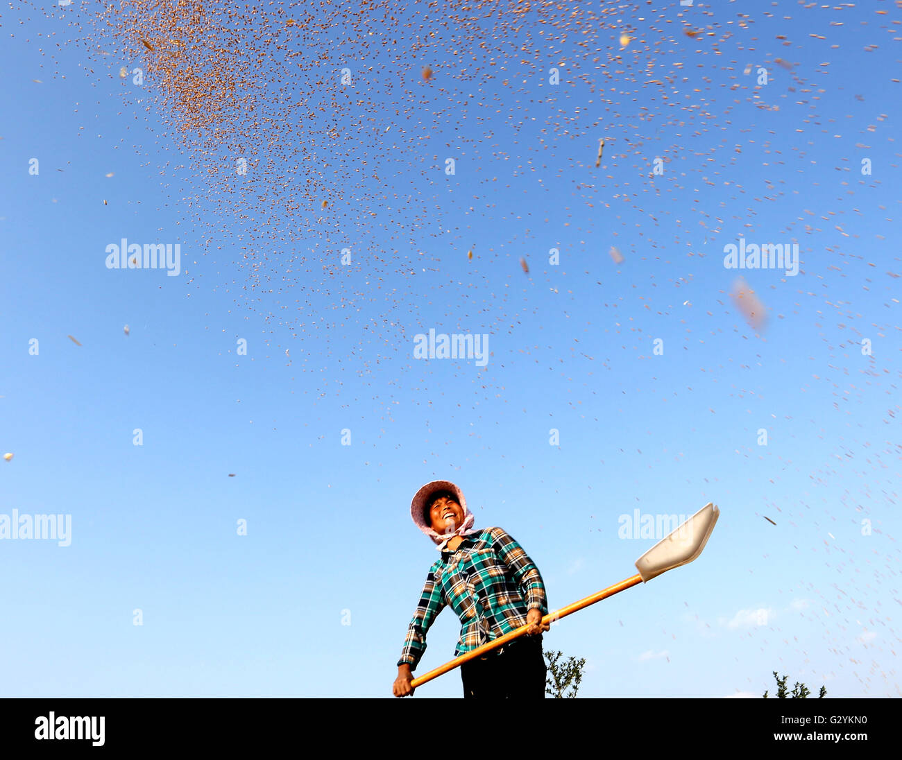 Linyi, China's Shandong Province. 4th June, 2016. Farmer Chen Enfang airs the newly-harvested wheat in Lingpo - Stock Image