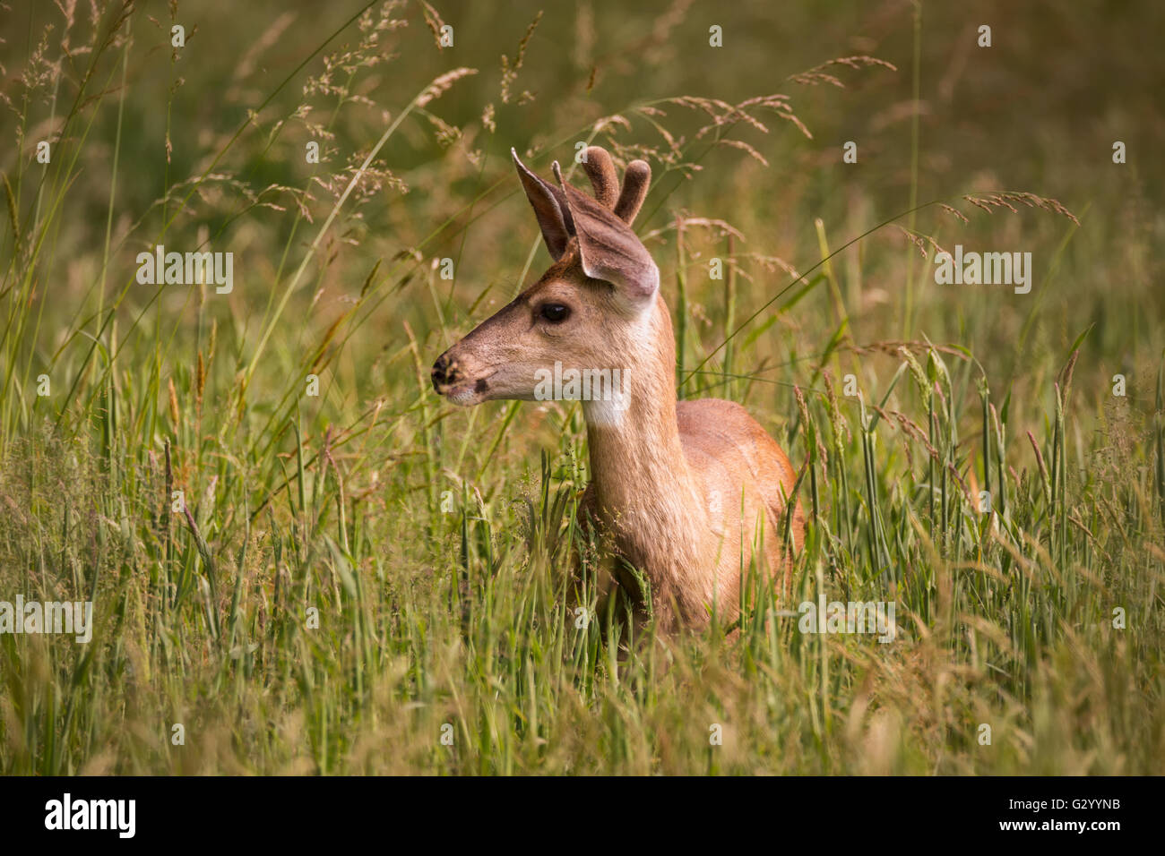 Single Juvenile Deer Standing in Tall Grass - Stock Image