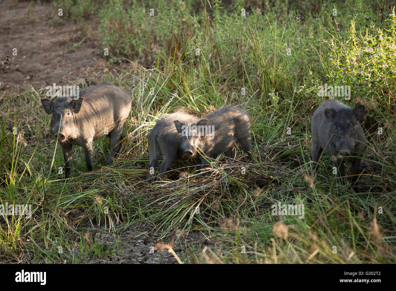 Sri Lanka, wildlife, Yala National Park, wild boar family in mud - Stock Image