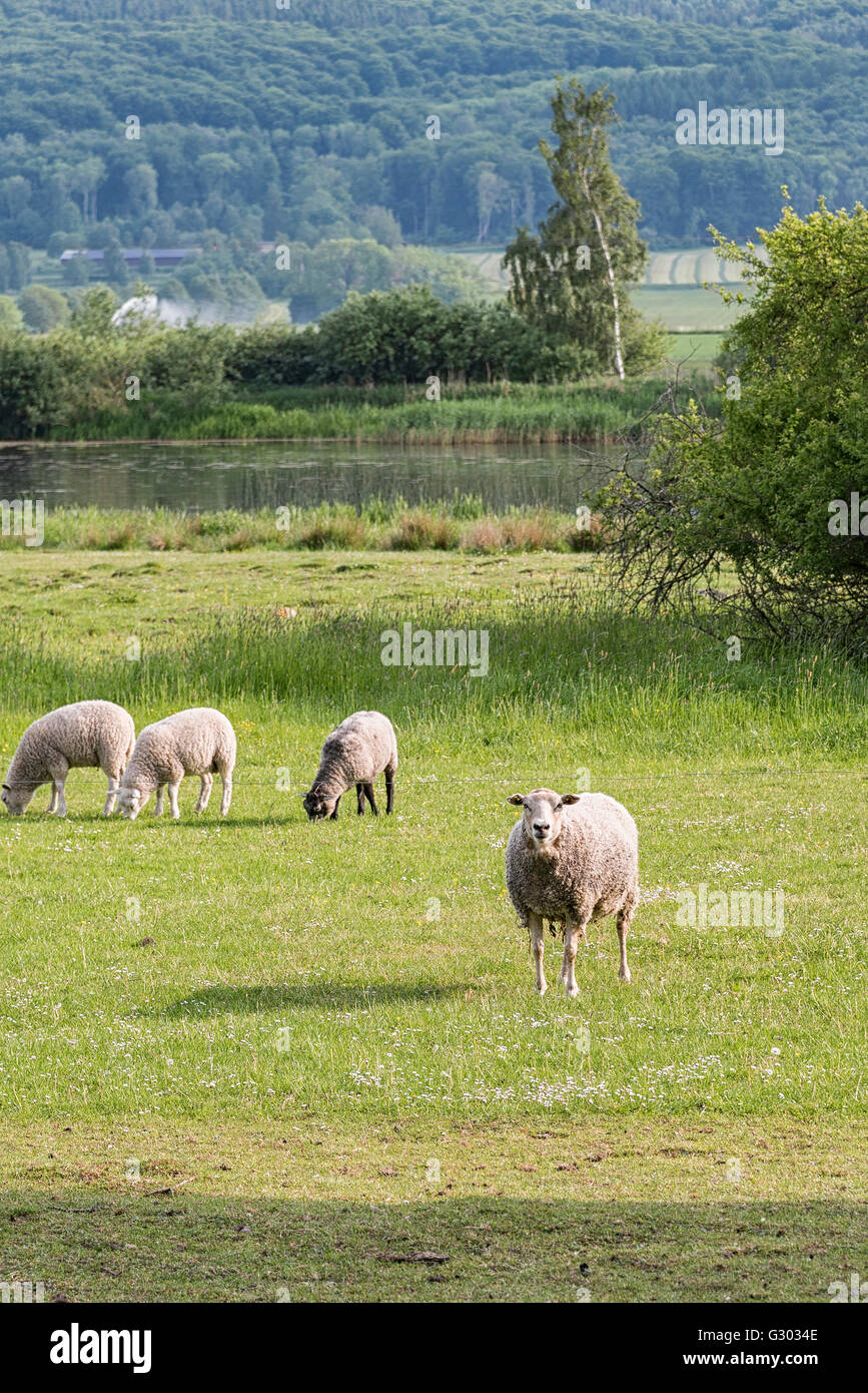 Small flock of sheep grazing on farmland in Sweden. Stock Photo