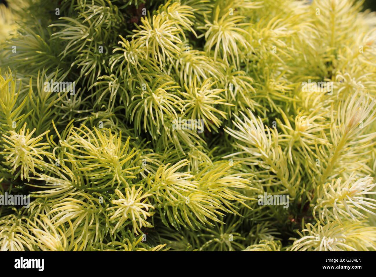 Thuja orientalis golden tree - Stock Image