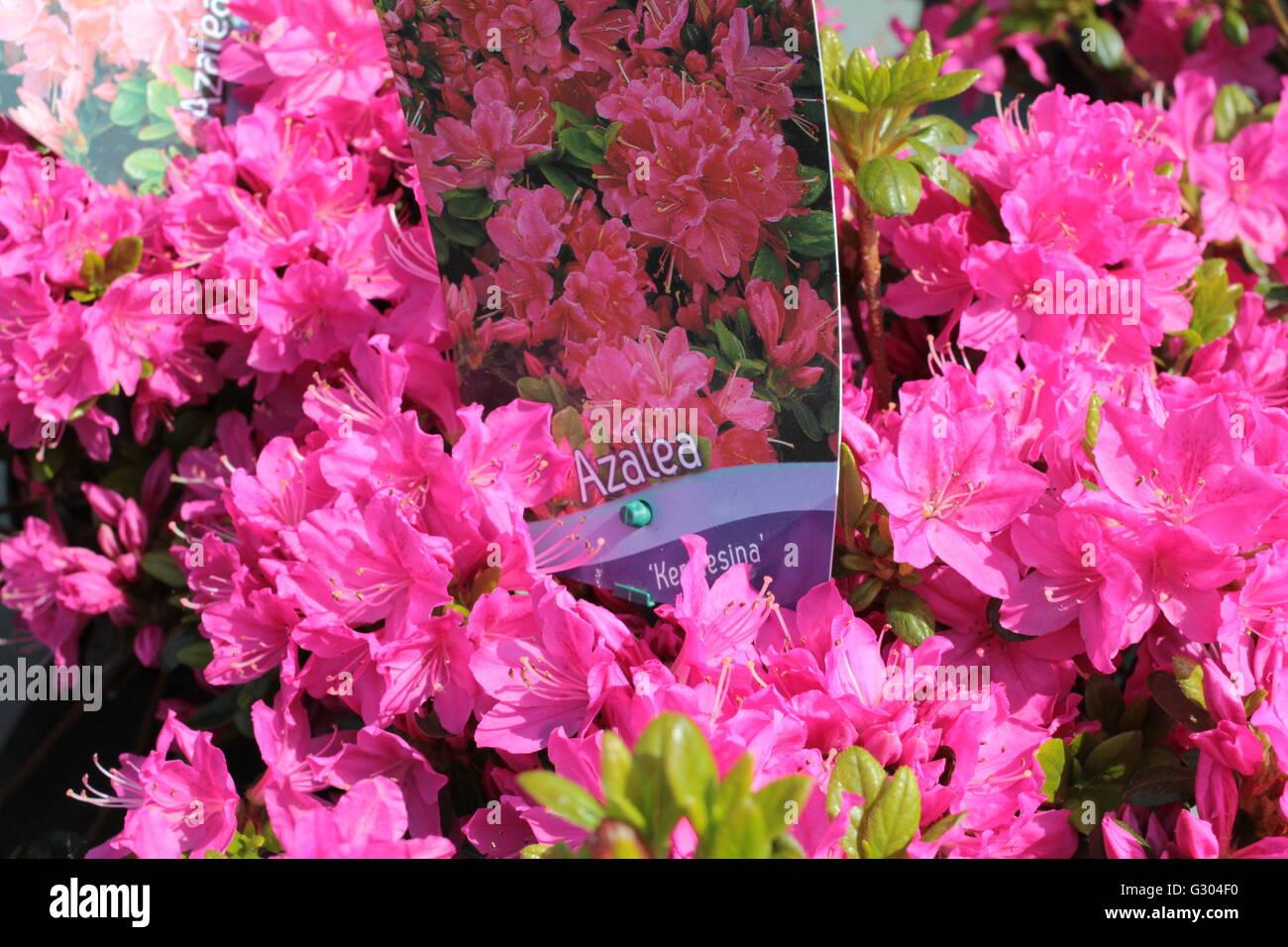 Pink Azalea 'kermesina' in full bloom - Stock Image