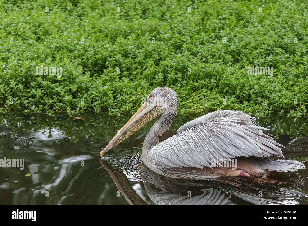 Pink-backed Pelican (Pelecanus rufescens) swimming in lake, native to Africa - Stock Image
