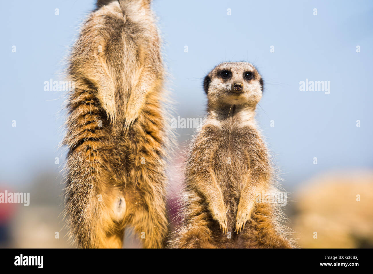 The meerkat (suricate) (Suricata suricatta), United Kingdom, Europe - Stock Image