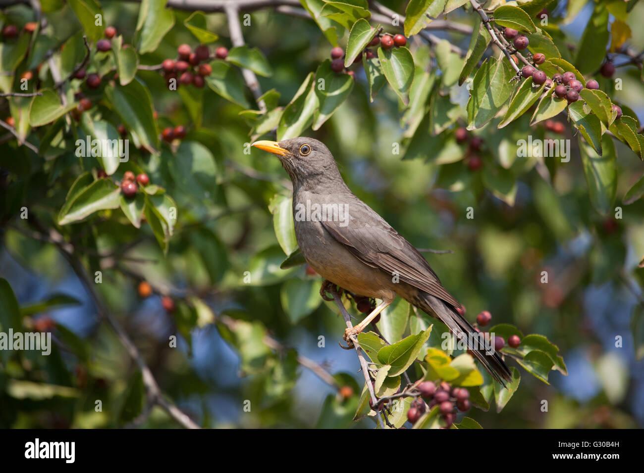 Olive Thrush sitting in tree Stock Photo